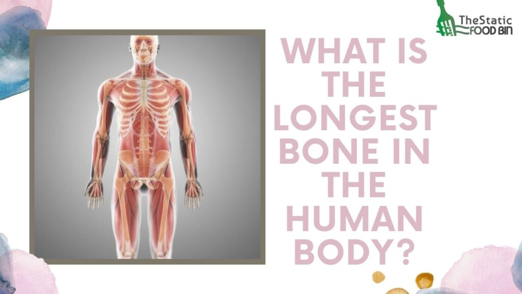 What is the longest bone in the human body