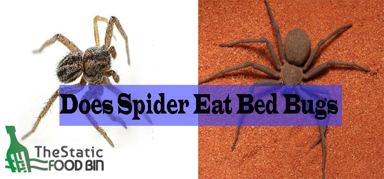 Does Spider Eat Bed Bugs