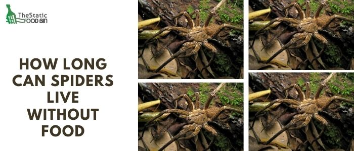 How long can spiders live without food