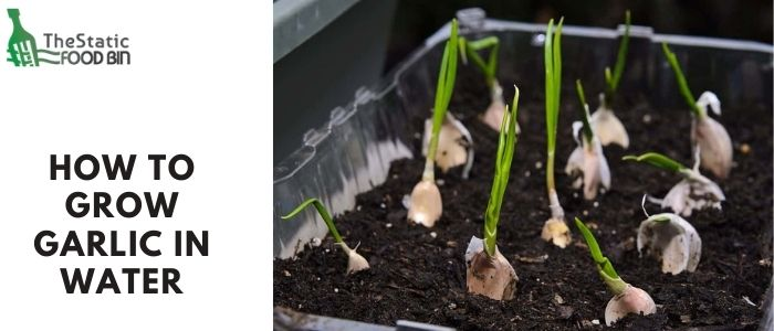 How to grow garlic in water